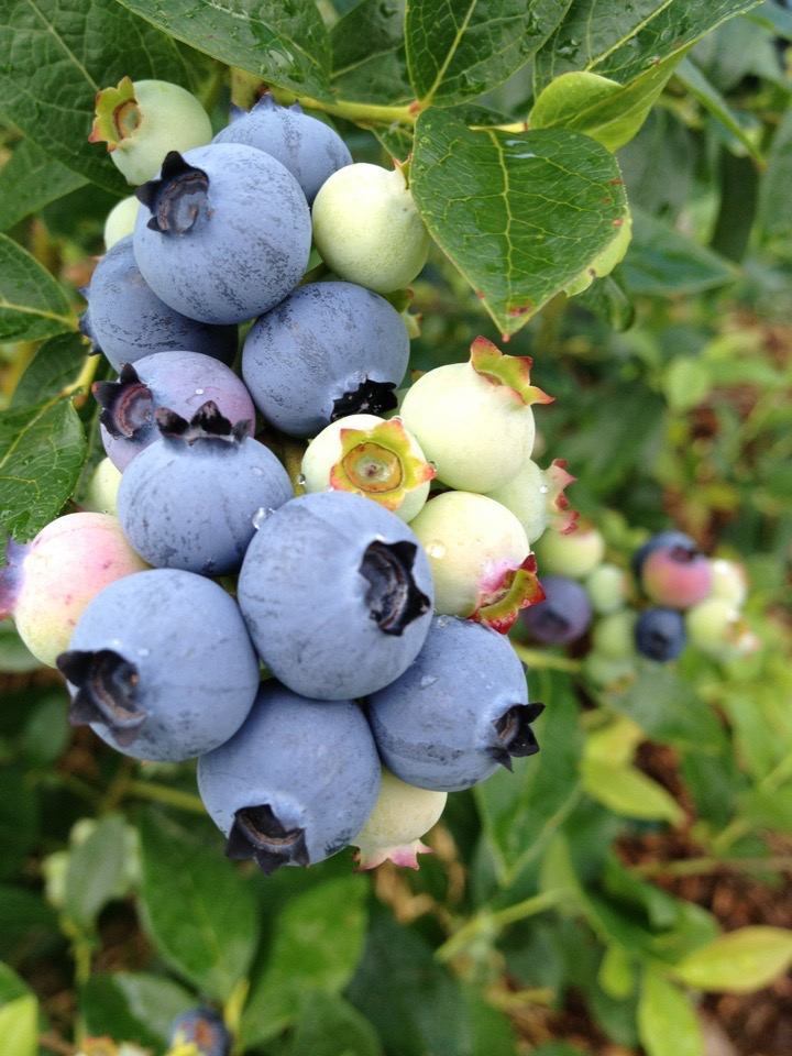 blueberries farm emily hill